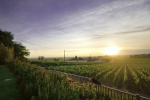 Minverevois Vineyard In South France