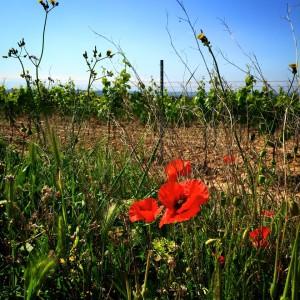 Minervois vineyard with poppies