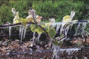 frost damaged vines