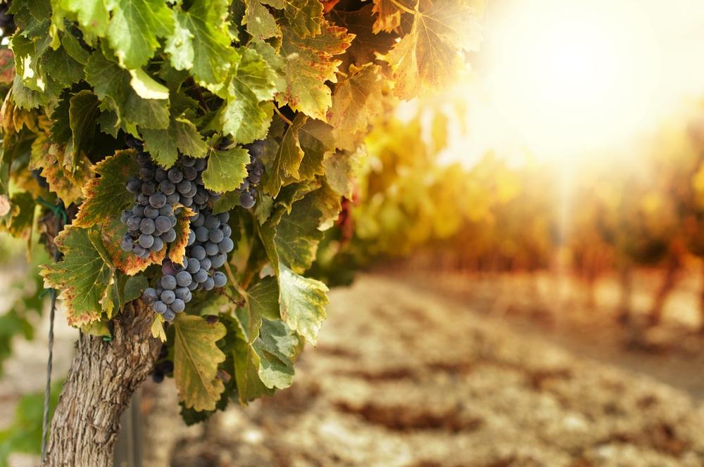 Grapes on vine
